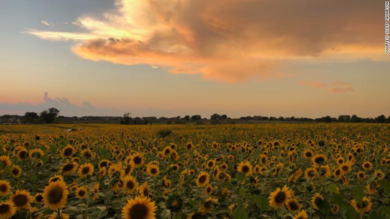 thompson farm sunflowers via can on the happy list