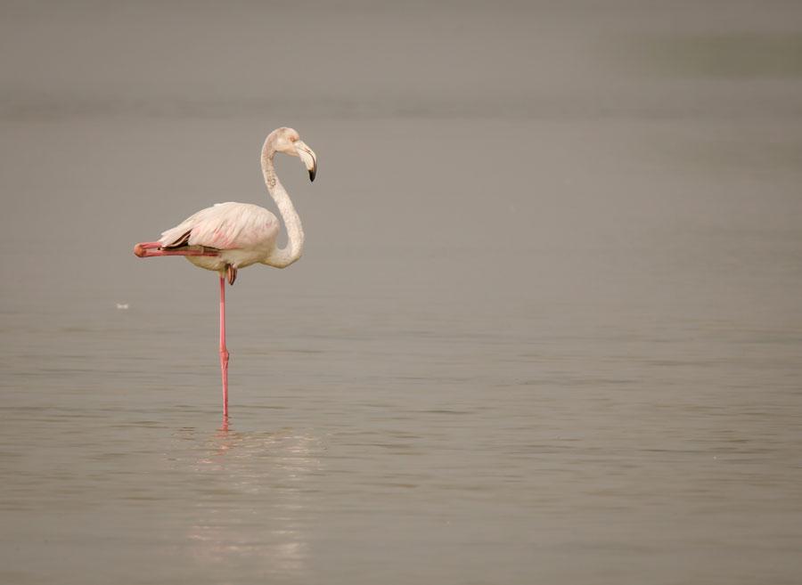 flamingo one leg stand by deepak sundar