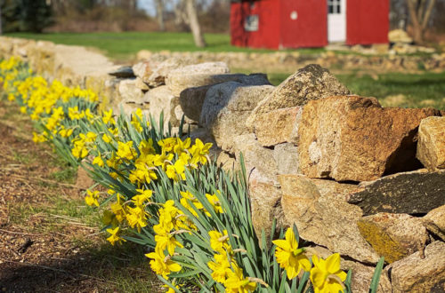 red barn with daffodils and rock wall
